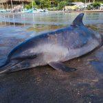 JAMA ▮ Delfín se vara en playa del Balneario Don Juan