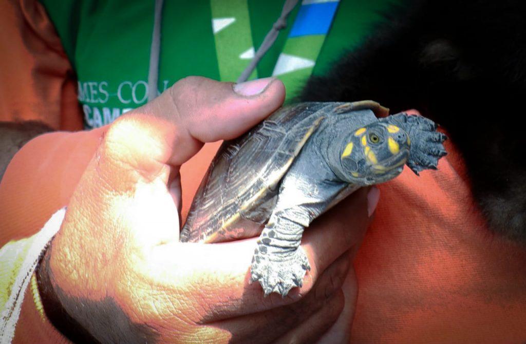 En Manta hallan una tortuga caminando por la calle