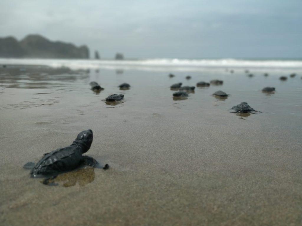 En Manabí 4.120 neonatos de tortuga nacen en playas manabitas